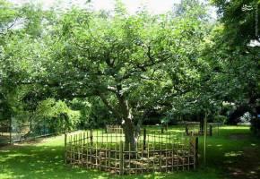 درخت سیب معروف نیوتن