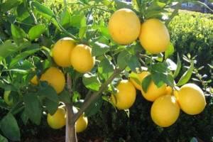 قاچاق میوه منجر به نابودی باغات لیموترش شد