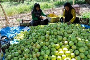 یک میلیون تن سیب درختی مردم ارومیه در سردخانه مانده است