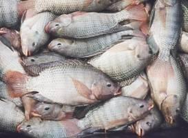 تولید ماهی در استان قزوین ۵۰ درصد افزایش می یابد
