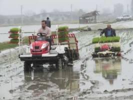 افزايش 20 هزار هكتاري نشاء برنج در اراضي شاليزاري مازندران