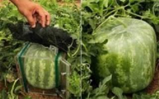 تولید هندوانه مکعبی و شش وجهی در البرز