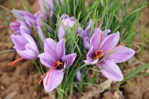 موفقیت محققان کشور در تولید ارگانیک گیاه زعفران