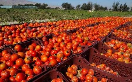 برداشت بالغ بر ۲۵۸ هزار تن گوجه فرنگی از مزارع استان زنجان