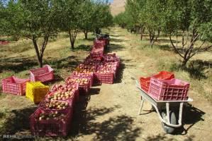 صادرات سیب درختی سه برابر شد