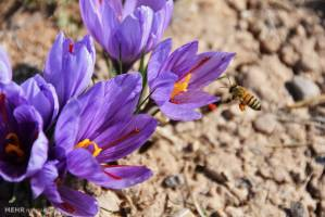 مرگ تدریجی زعفران ایران به دست سوداگران