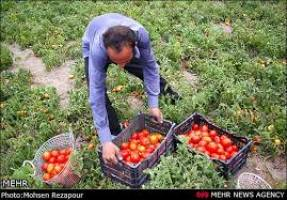 برداشت 258 هزار تن گوجه فرنگی از مزارع استان زنجان