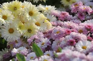 برگزاری جشنواره گلهای داوودی در تهران