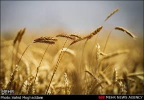 کشاورزان قزوینی به کشت و آبیاری غلات پاییزه اقدام کنند