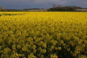 تولید ۴۵۰ هزارتن دانه روغنی