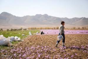 اذعان وزارت جهاد به قاچاق پیاز زعفران