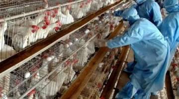 پاک بودن مرغداری های صنعتی مازندران از بیماری آنفلوانزا