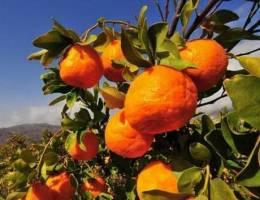 واردات نارنگی پاکستانی در بهمنماه آزاد شود