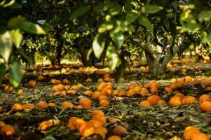 پرداخت 30 میلیارد تومان کمک بلاعوض به باغداران مازندران در هفته جاری