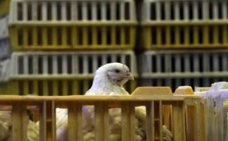 بیمه خسارت مرغداران را نمیدهد
