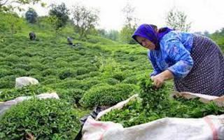 برخورد با تغییر کاربری باغات چای