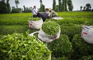 سرمازدگی باغات چای کشور