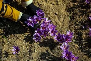 خروج پیاز زعفران از کشور ممنوع است