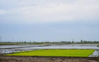 تقاضای روبه رشد برنج در منطقه