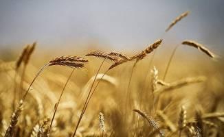عرضه ۵۰ هزار تن گندم و جو در قالب طرح قیمت تضمینی در بورس کالا
