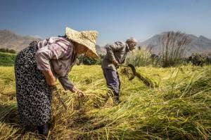 تولید ۲.۲ میلیون تنی برنج