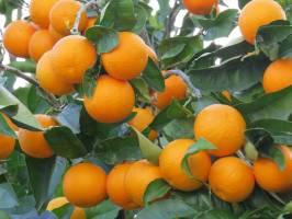 پرتقالهای رنگ شده نخوردید