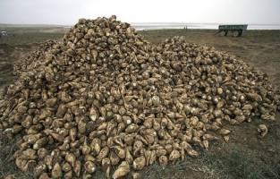 ۱.۷ میلیون تن شکر امسال در کشور تولید میشود