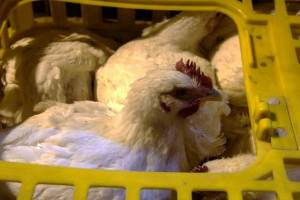 گرانی مرغ ربطی به شیوع آنفلوانزا ندارد