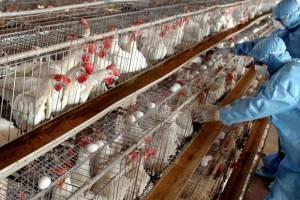 آنفلوانزای پرندگان؛ یک قدم تا ایست