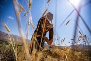 آغاز خرید تضمینی گندم بدون قیمت!