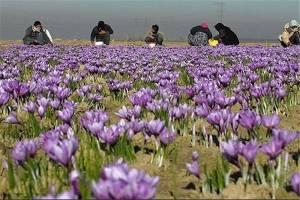 پشتپرده توسعه کشت زعفران در افغانستان