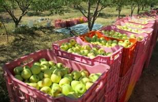 صادرات سیب در قبال واردات موز بدون تعرفه ۵ درصدی امکان پذیر نیست