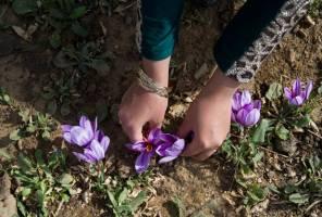 سیاستهای ارزی،صادرات رسمی زعفران را ۴۵درصد کاهش داد