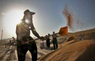 تحویل گندم به دولت یک میلیون تن افزایش یافت