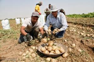 آغاز روند کاهش قیمت سیبزمینی