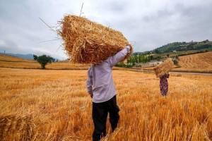 نرخ خرید تضمینی گندم باید به موقع اعلام شود