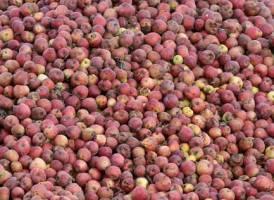 هشدار نسبت به احتمال افزایش قیمت سیب