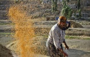 قانون خرید تضمینی محصولات کشاورزی باید اصلاح شود