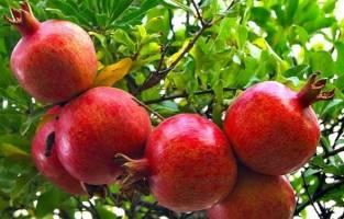 وضعیت بازار میوه در آستانه یلدا