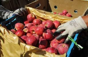 ذخیره ۷۰۰ هزار تن سیب درسردخانه های کشور