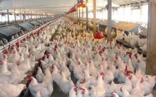 خرید و فروش مرغ زنده بیش از ۸۷۰۰ تومان ممنوع شد