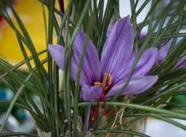 پیش بینی رشد۳۰ درصدی تولید زعفران
