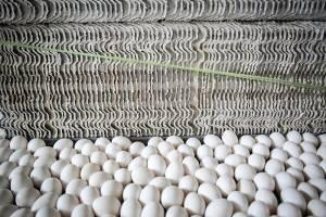 جمع آوری تخم مرغ مازاد تا پایان هفته در سراسر کشور