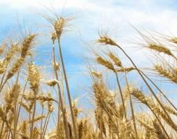 میزان تحویل گندم به دولت کاهش یافته است