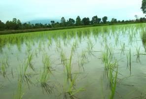 ۱۴ محصول جایگزین کشت برنج معرفی شد