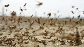۱۰ میلیارد تومان دیگر برای مبارزه با ملخهای صحرایی اختصاص یافت