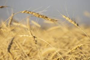 خرید توافقی ۳۰ هزار تن گندم توسط بخش خصوصی در یک ماه اخیر