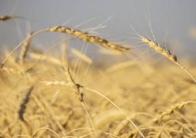 خرید۴.۶ میلیون تن گندم از کشاورزان