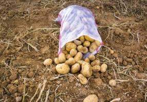 قیمت سیب زمینی کاهش یافت