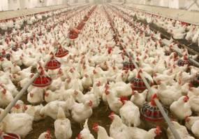 اجرای طرح ارتقای کیفیت بهداشتی گوشت مرغ در ۱۴ استان آغاز شد
